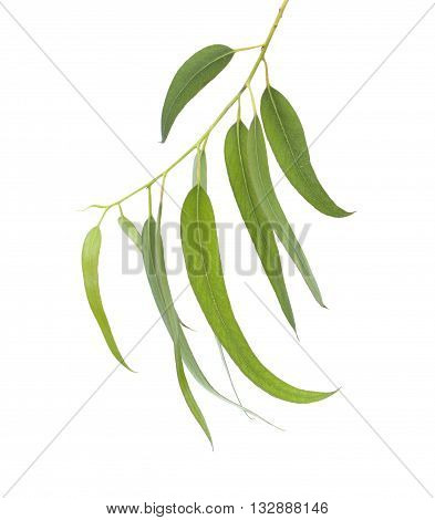 Fresh Eucalyptus Leaves