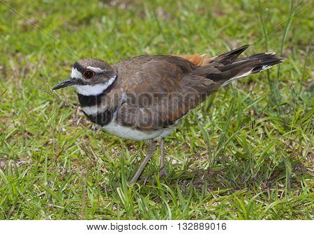 Killdeer that looks like it is showing off its feathers