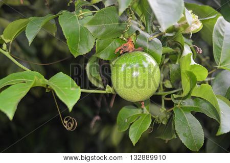 passion fruit on the vine.Passionfruit vines don't flower and fruit straightaway. In the subtropics they may begin fruiting in six to 12 months from planting