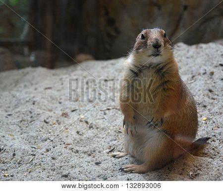 American squirrel in a zoo (Kuala Lumpur, Malaysia)