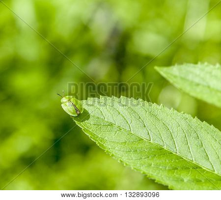 green tortoise beetle on a leaf in natural sunny ambiance