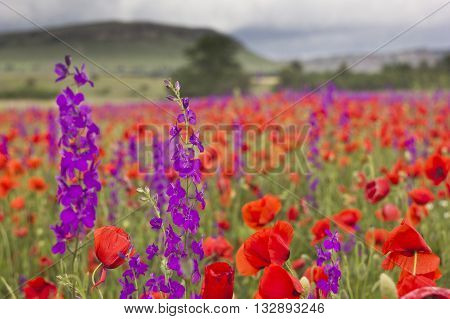 purple flowers and red poppy field in mountains low depth of field close-up