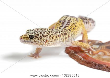 Small gicon lizard pet sitting on stone isolated over white background. Copy space.