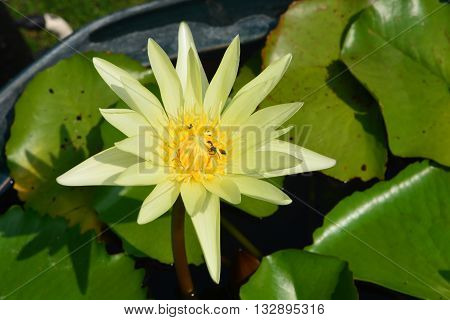Lotus rare flower. Symbol of purity./ closeup lotus