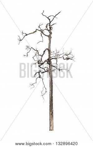 beautiful dead tree isolated on white background