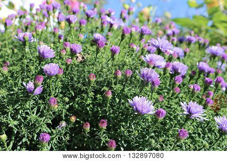 Blue thin flap perennial asters in the garden
