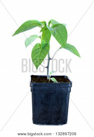 Young sprouts seedlings pepper in flowerpot isolated on white background