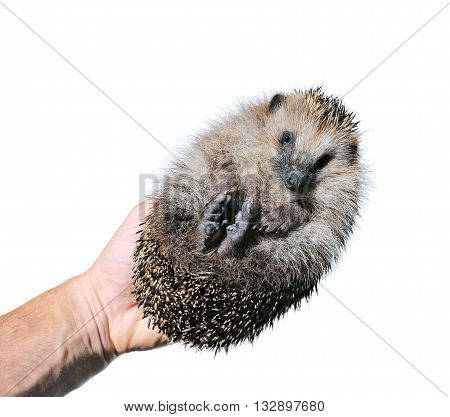 Forest wild hedgehog on male hand isolated on white background
