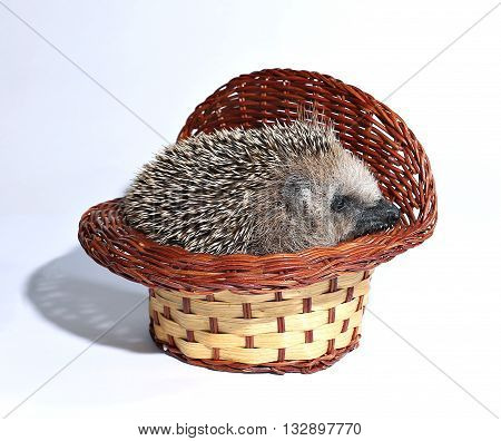 Forest wild hedgehog a wicker basket on white background