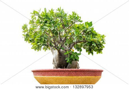 single bonsai tree isolated on white background