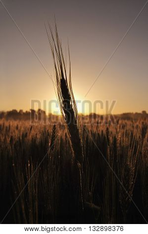 Silhouette of a barley plant at sunrise