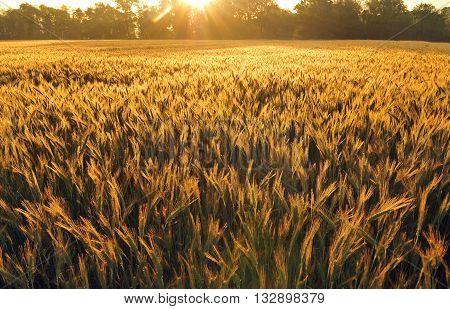 Field of barley lit by morning sun