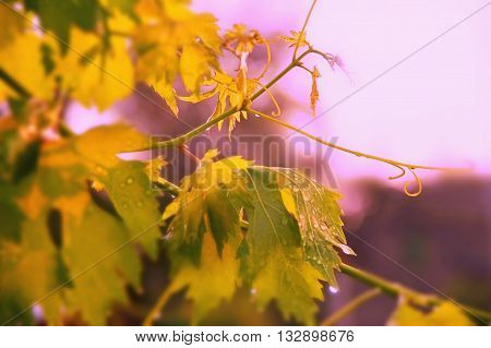 vineyard grape leaves and vines at sunset very soft focus