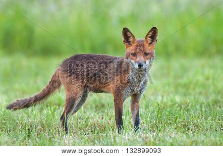 Red fox in a field looking at the camera