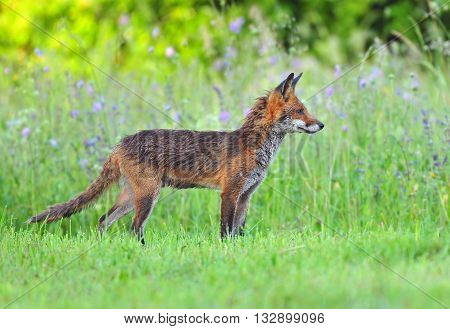 Photo of red fox in a field