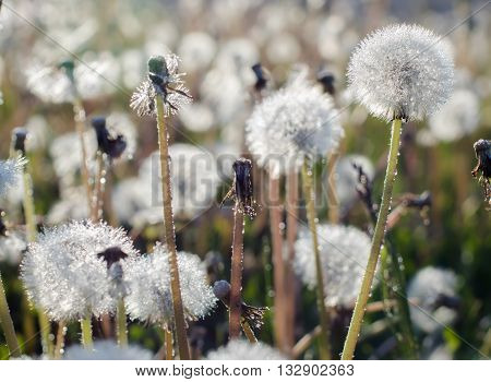 Close up of dandelion in the field