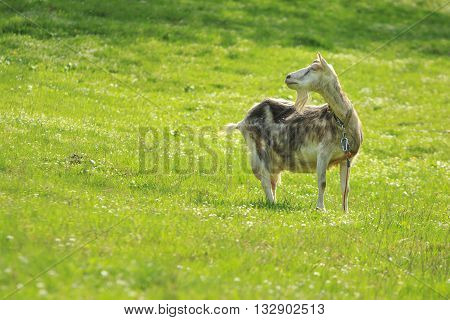 Goat stands in a green meadow turned back