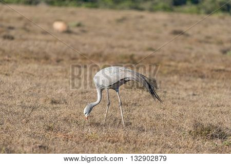 The national bird of South Africa the Blue Crane (Anthropoides paradiseus or Grus paradisea). It is an endangered species