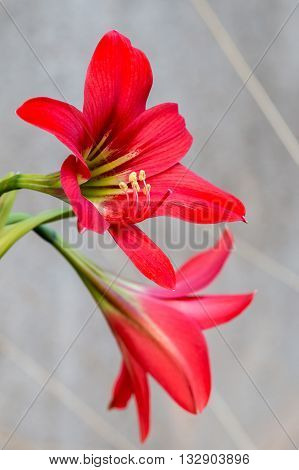close up two Red Amaryllis flower blossom