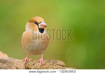 Portrait of a female Hawfinch on nature outdoor