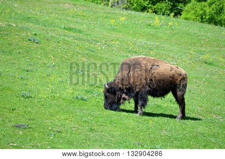 An adult bison grazing on the green grass