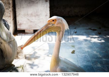 White and pink pelican portrait with head and beak in park
