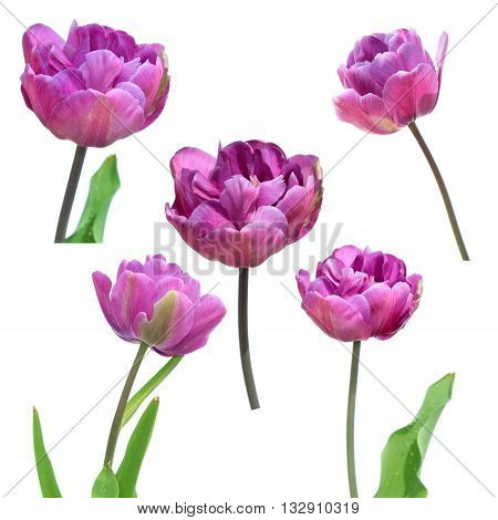 Purple Double erly tulips isolated on white background. Purple flowers