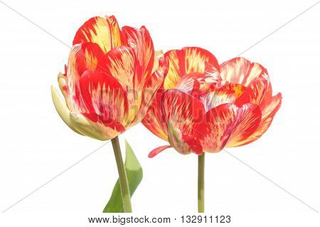 Tulip broken by viruses. Variegated colors produced by Tulip Breaking Virus (mosaic virus)