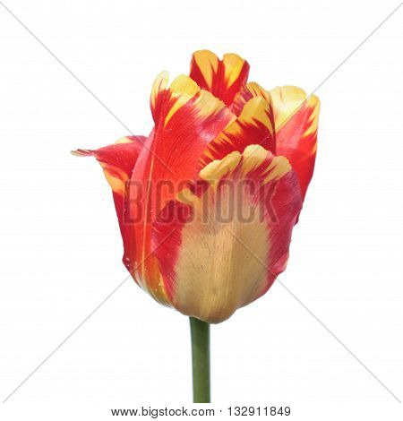 Red Darwin Tulip isolated on white background