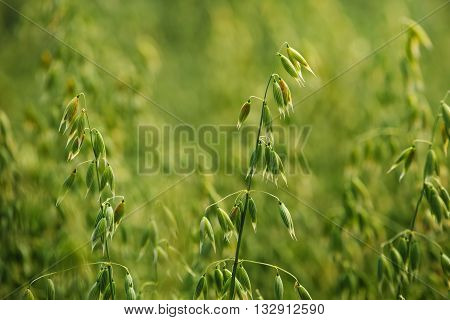 Oat field detail green crops growing in cultivated field
