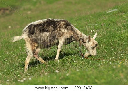Domestic goat pastures in a green field