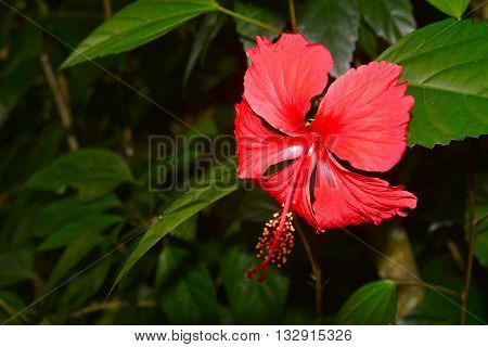 Red hibiscus Hibiscus Schizopetalus or Coral Hibiscus Flower on tree. ** Note: Shallow depth of field