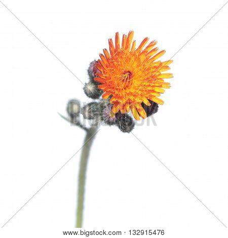 Orange Hawkweed flower isolated on white background