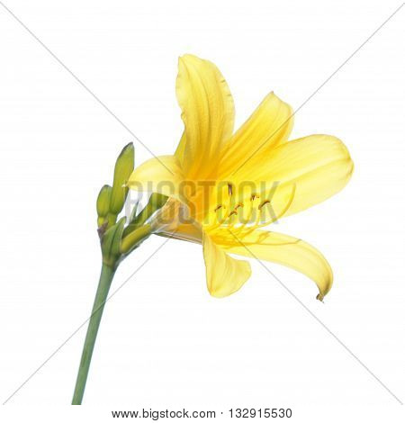 Yellow daylily flower isolated on white background. Yellow flower on white background