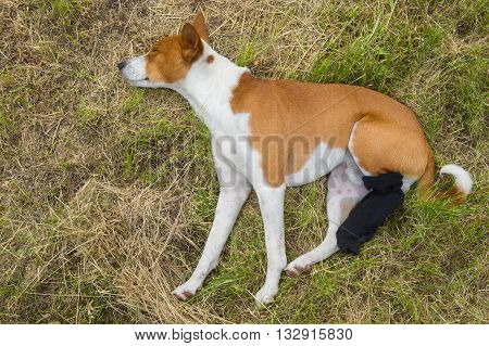 Basenji dog with broken bandaged hind feet having first outdoor rest after the surgery