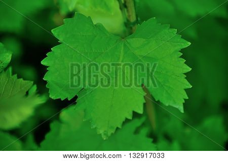 The leaves are used as food for the beetle to obtain silk.