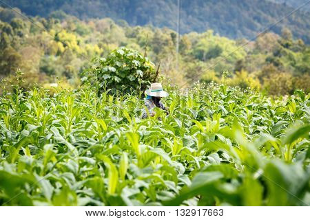 Thai Woman Put Insecticide And Fertilizer In Tobacco Plant