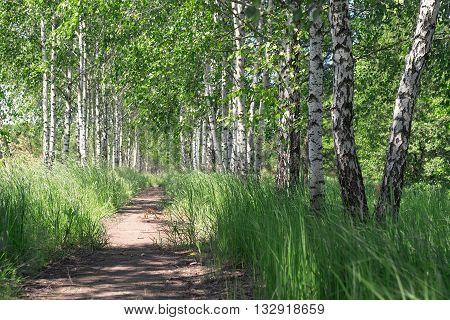 Summer landscape. Path in the birch copse.
