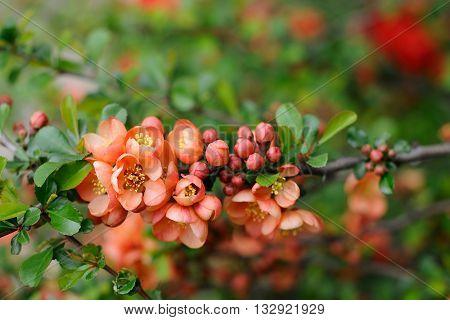 Quince flowers and buds closeup macro closeup