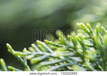 Cypress branch closeup, Thuja background green tree, close-up shot with back light