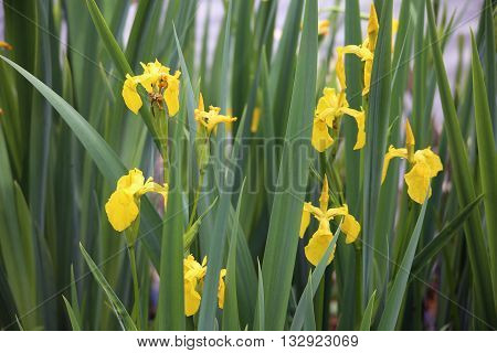 Flower Iris pseudacorus or yellow flag yellow iris water flag or lever near the river