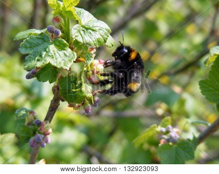 Bumblebee collecting nectar from blossoming currant at sunny summer day