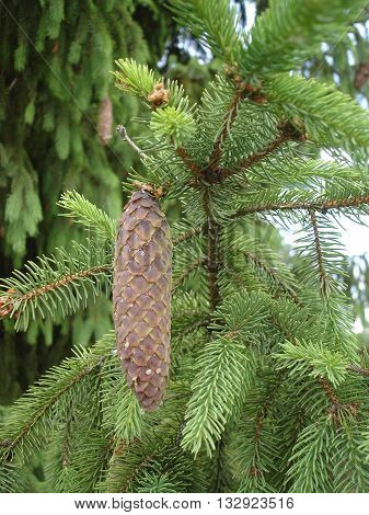 One fir cone on green spruce branch.