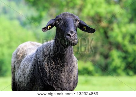 Close-up details of a funny black sheep- selective focus.