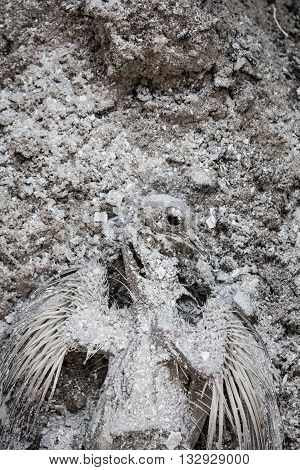 Dead pigeon mummy in a grey war ash explosion