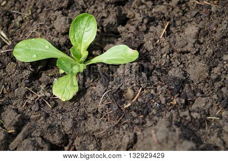 young corn salad plant in a field