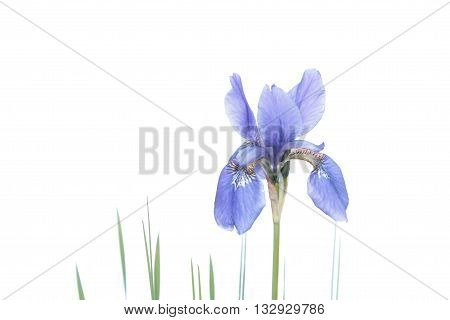 Blue Iris isolated on white background. Siberian iris (Iris sibirica) flower