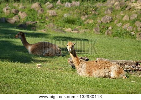 Vicuna (Vicugna Vicugna) lying in the grass