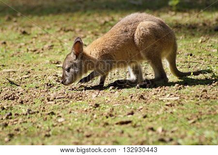 Young red necked wallaby - Macropus rufogriseus
