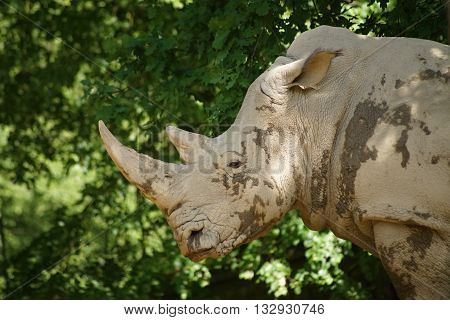Portrait of a white rhinoceros - Ceratotherium simum simum